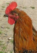 'Jack' the Rooster : The AIF Signal Service in WW1