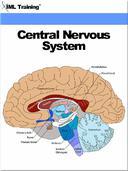 Central Nervous System (Human Body)
