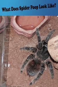 What Does Spider Poop Look Like?